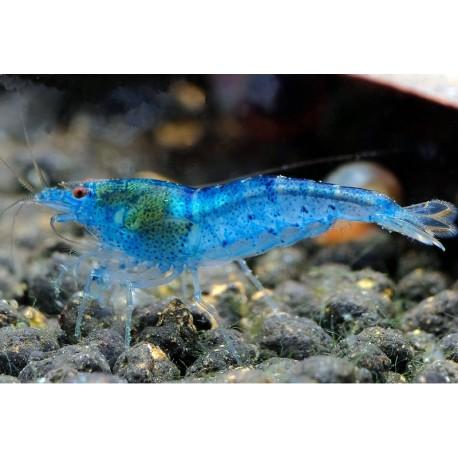 Caridina Serrata sp. Aura Blue