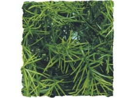 Plante CASHUARINA MM - ZM