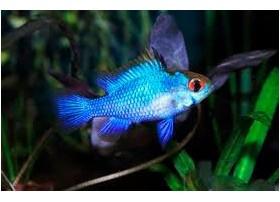 Ramirezi, Bleu électrique, taille : 2,5-3cm