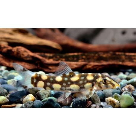 Loche Polka, taille : 5-6cm