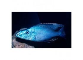 Dimidiochromis compressiceps, Argenté, taille : 5-6cm