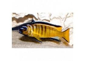 Pseudotropheus elongatus usisya, Marron clair, taille : 5-6cm