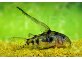 Corydoras poivré, Voile, taille : 3,5-4cm