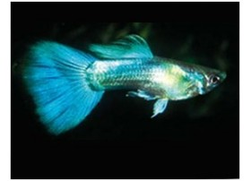Guppy, Turquoise, taille : 3,5-4cm, Mâle