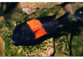 Tropheus moorii bemba, Orange, 4-5cm
