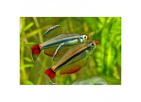 Tanichthys micagemmae, Doré, noir et rouge, +2cm