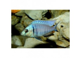 Placidochromis electra, 5-6cm