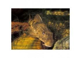 Pleco commun, Gris foncé et brun, 10-12cm