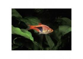 Rasboras arlequin, Rouge orangé , 3-3,5cm