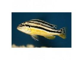 Melanochromis johannii, 3-4cm