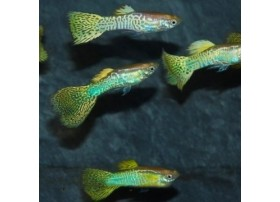 Guppy, Cobra doré, 3,5-4cm, Mâle