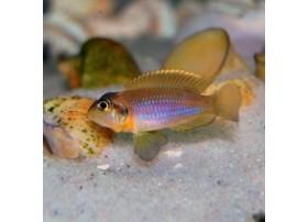 Neolamprologus ocellatus, Gold
