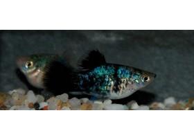 Platy, Bleu calico, taille : 3-4cm