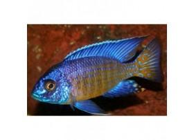 Aulonocara stuartgranti, Jaune et bleu, 6-7cm