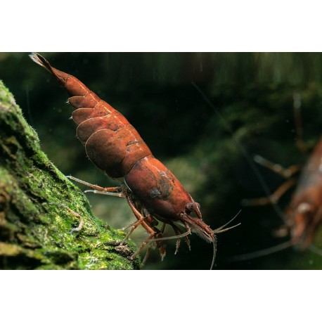 Neocaridina red Onyx