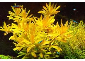 Nesaea Pedicellata Golden