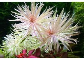 Ludwigia Inclinata sp. White