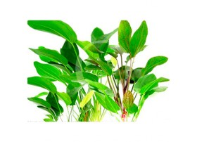 Lot Echinodorus Gimme Five ! x15 - racines nues