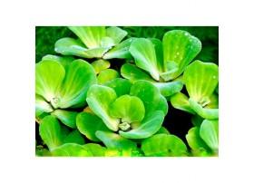 Pistia Stratiotes - Lot de 20 plantes d'aquarium