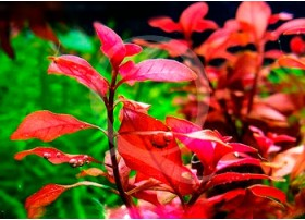 Ludwigia Super mini Red