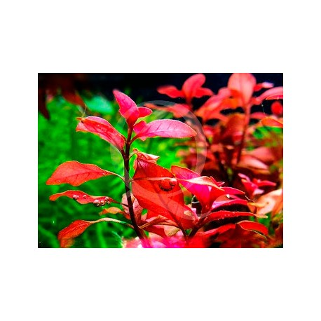 Ludwigia Super mini Red