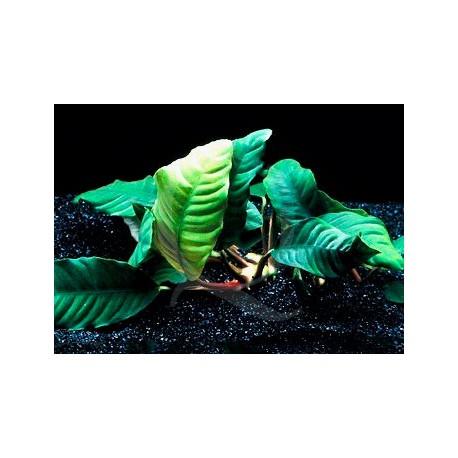 Anubias Barteri var. cofeifolia