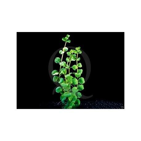 Plante in vitro - Lysimachia Nummularia