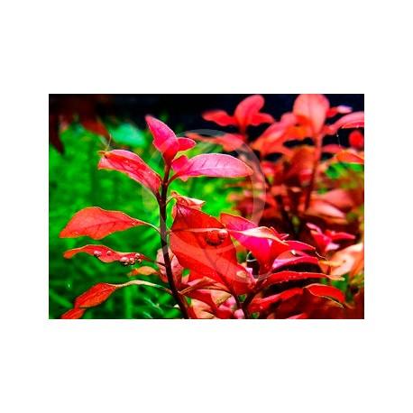 Plante in vitro - Ludwigia Super mini Red