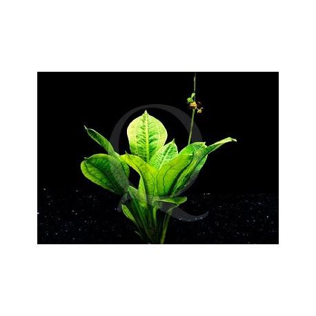 Echinodorus Parviflorus Tropica