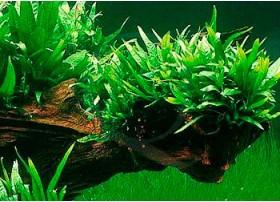 Microsorum Pteropus sp. mini