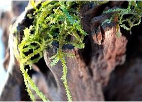 Jungermannia Pseudocyclop - Mini Rosa moss