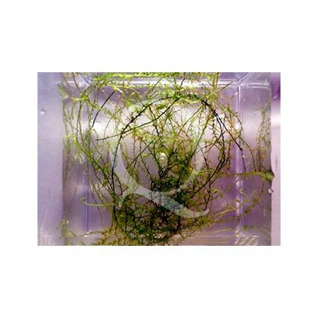 Leptodictyum riparium - Stringly Moss
