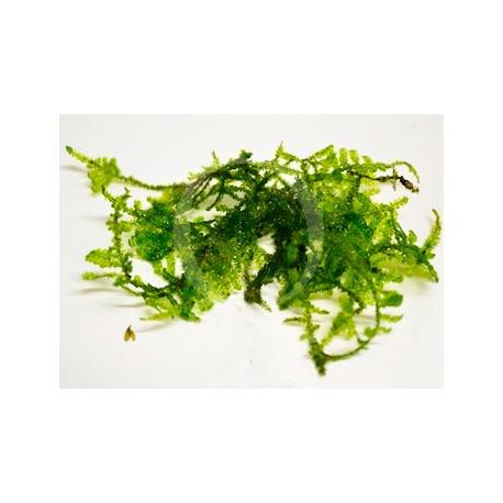 Vesicularia sp. - Singapore Moss