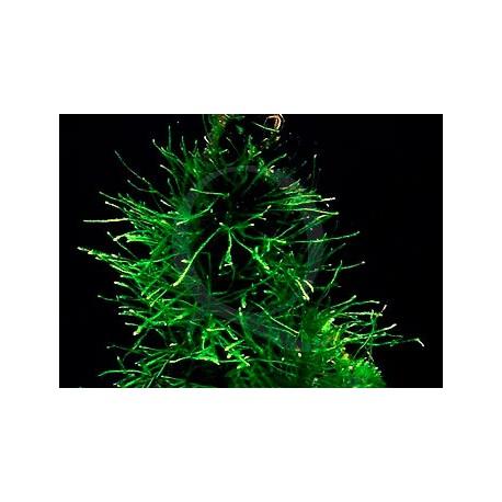 Vesicularia Species