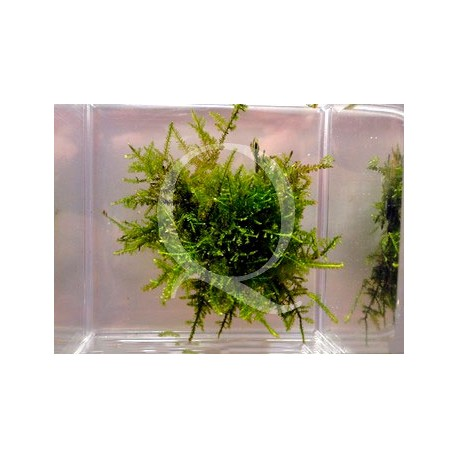 Vesicularia sp. - Mini X-Moss