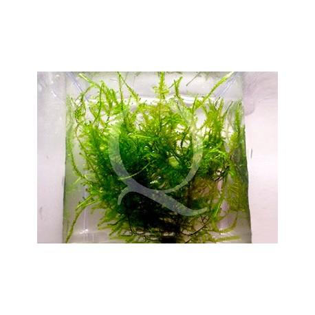 Taxiphyllum alternans - Taiwan Moss