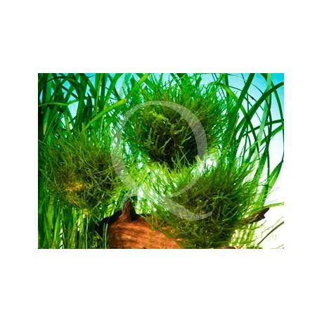 Vesicularia sur sphère