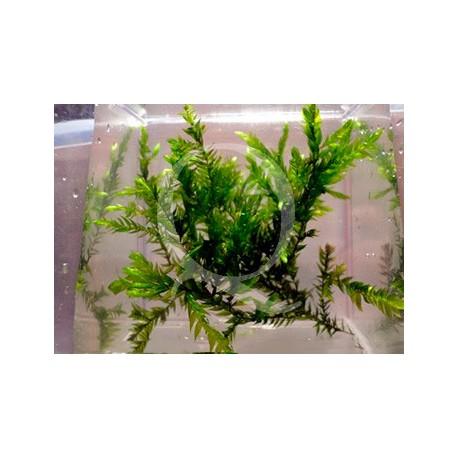 Fontinalis antipyretica - Willow Moss