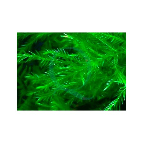 Fontinalis Hypnoides sp. – Quell Willow Moss