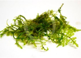 Taxiphyllum sp. – Anchor Moss