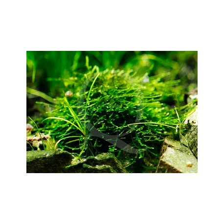 Taxiphyllum Alternans - Mini Taiwan Moss