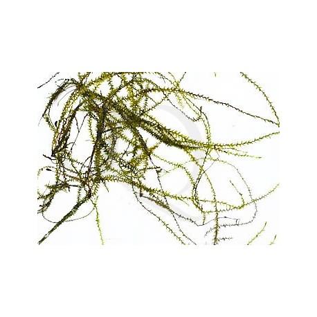 Drepanocladus sp. Flat Moss
