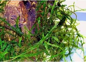 Taxiphyllum sp. - Giant Moss