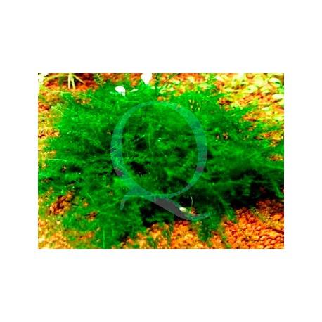 Amblystegiaceae sp Manaus - Queen Moss