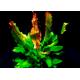 Echinodorus Dschungelstar Nr3 Python