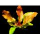 Echinodorus Dschungelstar Nr8 Ozelot Gold