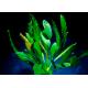 Echinodorus Dschungelstar Nr7 Grande Osiris
