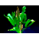 Echinodorus Dschungelstar Nr5 Grand Ours