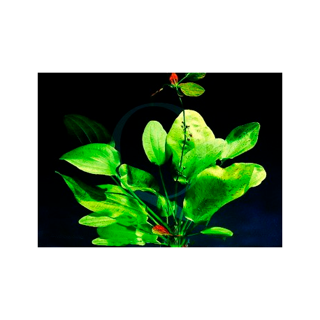 Echinodorus Dschungelstar Nr9