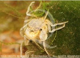 Limnopilos naiyanetri - Micro crabe